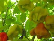 Семена перца комнатного Колокольчик