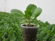 Продается рассада ранней капусты