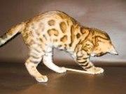 Бенгальские котята, ,
