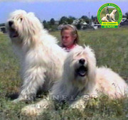 Южнорусская овчарка-запись на щенков.