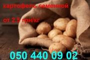 картофель посадочный семенной продажа