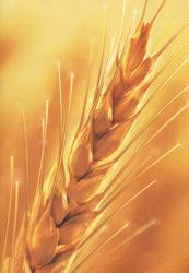 Пшеница,  ячмень закупаем