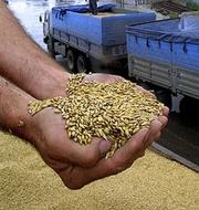 Куплю подсолнечник,  кукурузу,  пшеницу