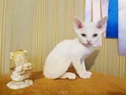 Котята Девон-Рекс (девочка)