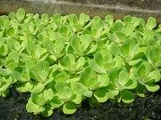 Продам пистия (водяной салат) растения для пруда