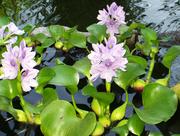 Продам эйхорния (водяной гиацинт) растения для пруда