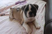 Продам щенков французкого бульдога