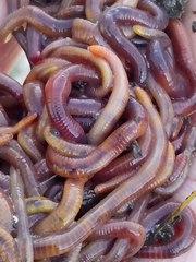 Продаю червей для рыбалки