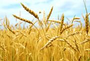 Покупаем зерновые у производителей сх культуры.