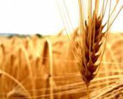 Куплю пшеницу по высокой цене