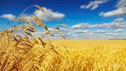 Закуповую зернові культури: пшеницю,  ячмінь
