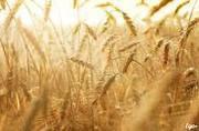 Компания купит Пшеницу,  Ячмень. По всей Украине