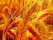 Покупаем Зерновые культуры