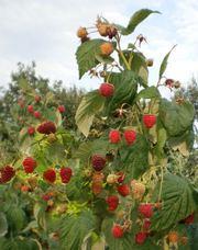 малина феномен самая вкусная и урожайная