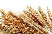 Продам зерно пшеницы