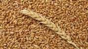 Закупка озимой пшеницы твердых сортов (Durum)