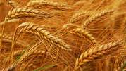 Закупаем пшеницу оптом!