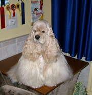щенок американского кокер-спаниеля палевого окраса, сука