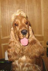щенок английского кокер-спаниеля