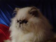 Продам гималайскую кошку и кота.